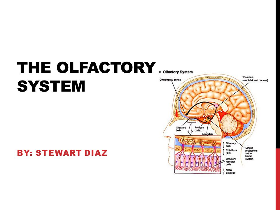 THE OLFACTORY SYSTEM BY: STEWART DIAZ