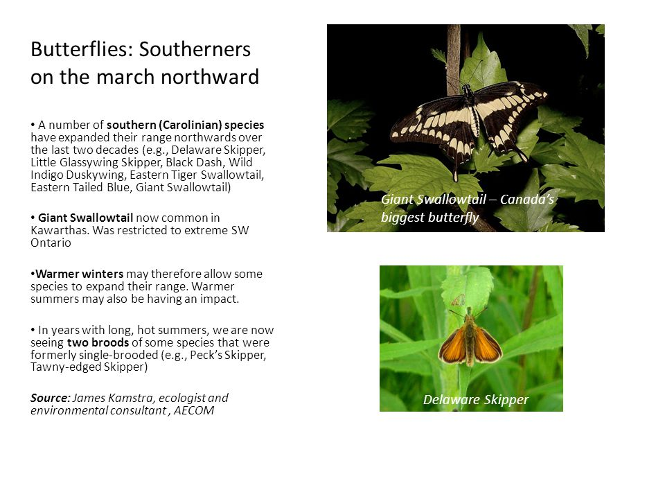 Butterflies: Southerners on the march northward A number of southern (Carolinian) species have expanded their range northwards over the last two decades (e.g., Delaware Skipper, Little Glassywing Skipper, Black Dash, Wild Indigo Duskywing, Eastern Tiger Swallowtail, Eastern Tailed Blue, Giant Swallowtail) Giant Swallowtail now common in Kawarthas.