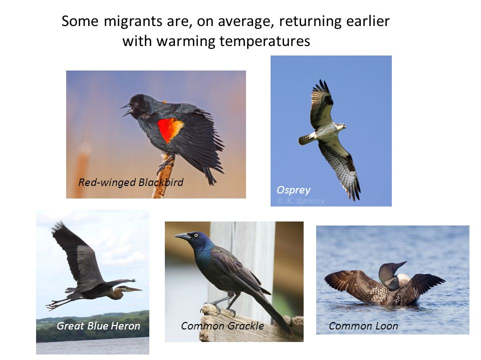 Some migrants are, on average, returning earlier with warming temperatures Common Merganser Osprey Great Blue HeronCommon Grackle Red-winged Blackbird Common Loon