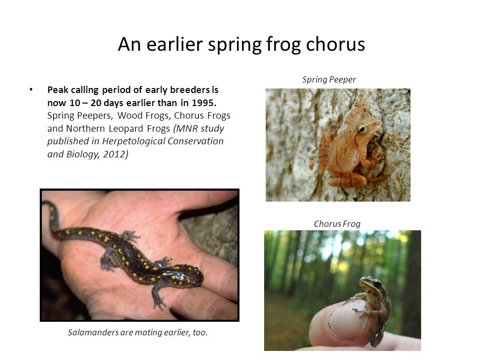 An earlier spring frog chorus Spring Peeper Peak calling period of early breeders is now 10 – 20 days earlier than in 1995.