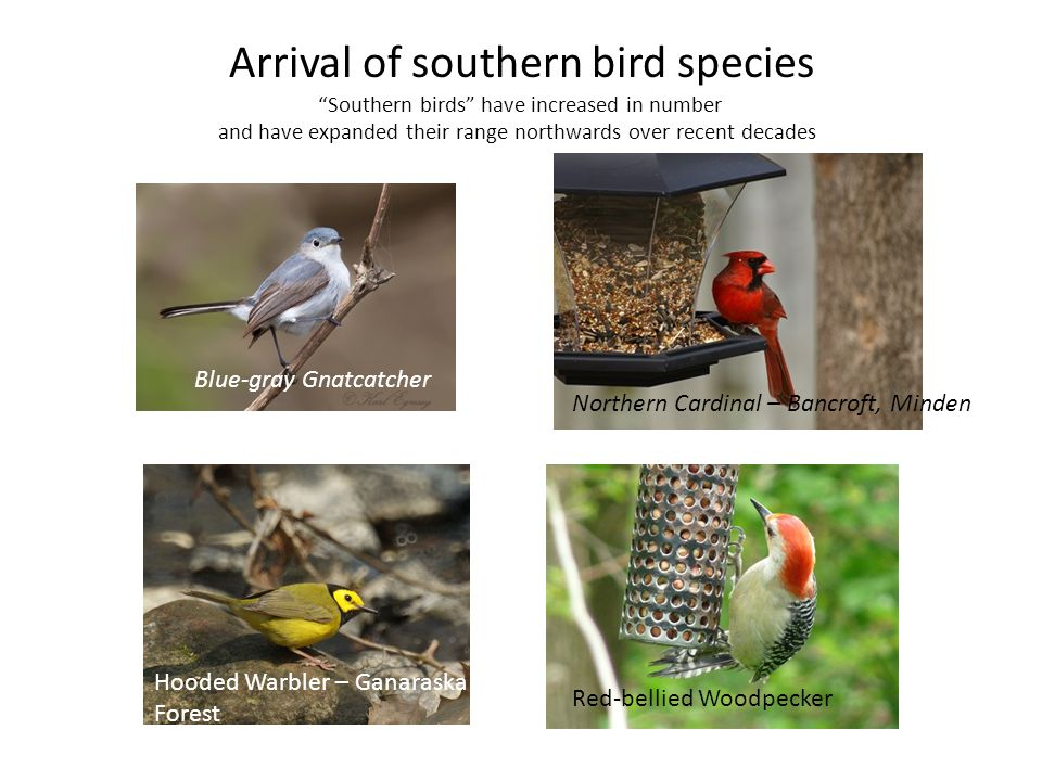 Arrival of southern bird species Southern birds have increased in number and have expanded their range northwards over recent decades Blue-gray Gnatcatcher Hooded Warbler Northern Cardinal – Bancroft, Minden Hooded Warbler – Ganaraska Forest Red-bellied Woodpecker