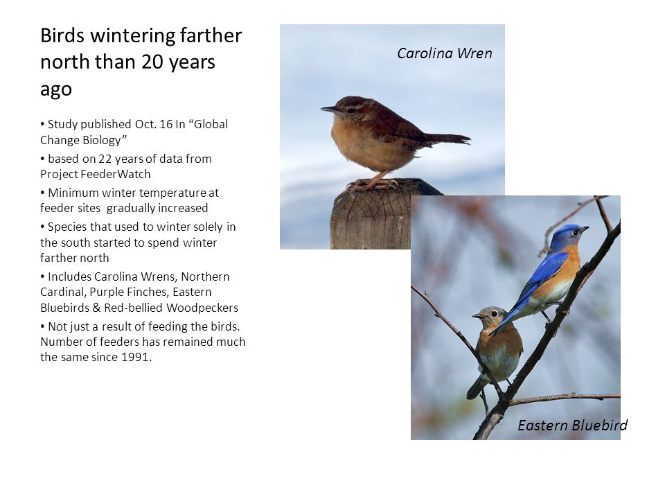 Birds wintering farther north than 20 years ago Study published Oct.