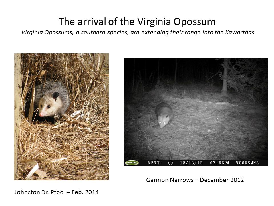 The arrival of the Virginia Opossum Virginia Opossums, a southern species, are extending their range into the Kawarthas Johnston Dr.