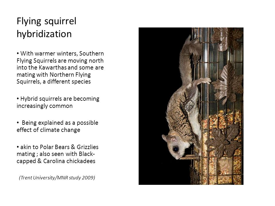 Flying squirrel hybridization With warmer winters, Southern Flying Squirrels are moving north into the Kawarthas and some are mating with Northern Flying Squirrels, a different species Hybrid squirrels are becoming increasingly common Being explained as a possible effect of climate change akin to Polar Bears & Grizzlies mating ; also seen with Black- capped & Carolina chickadees (Trent University/MNR study 2009)