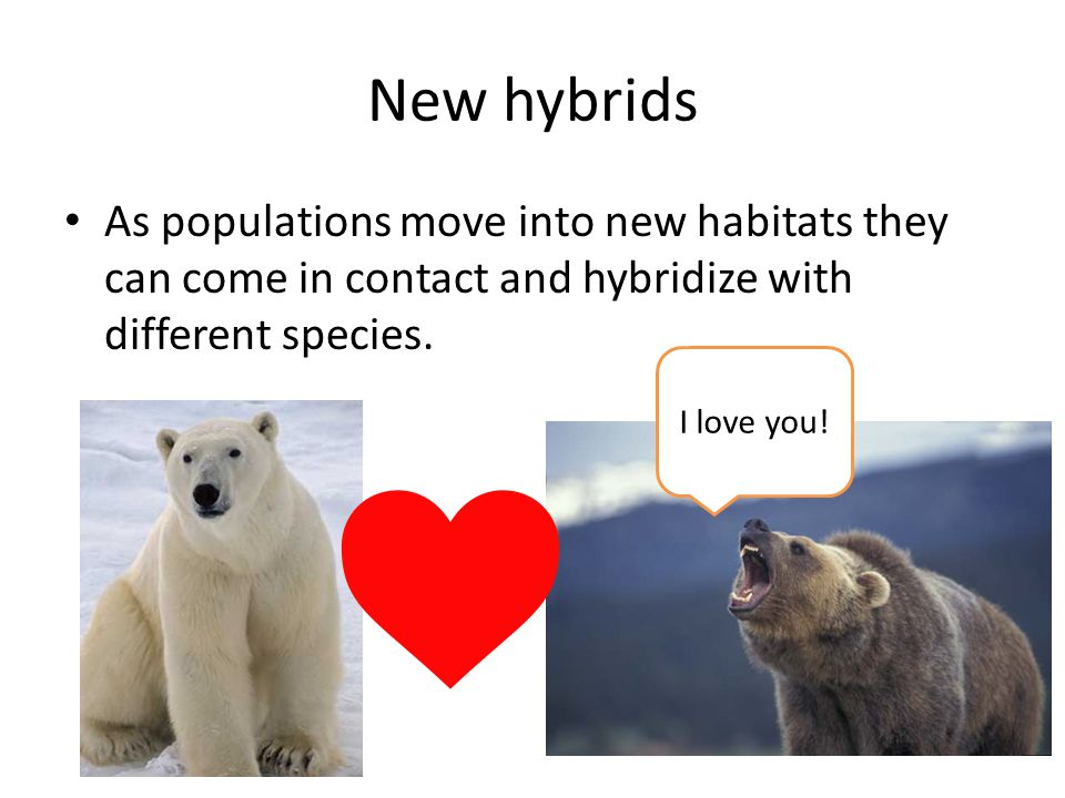 New hybrids As populations move into new habitats they can come in contact and hybridize with different species.