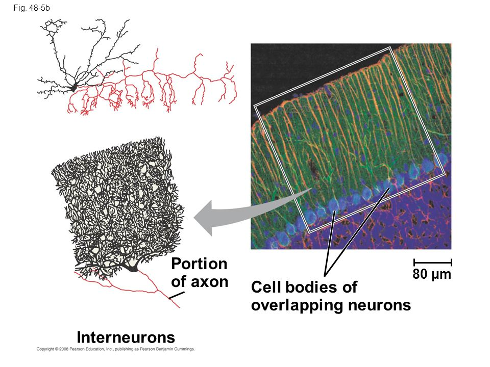 Fig. 48-5b Interneurons Portion of axon Cell bodies of overlapping neurons 80 µm