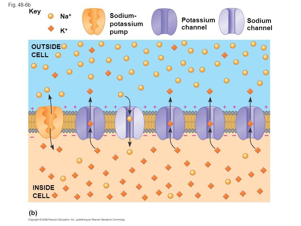 Fig. 48-6b (b) OUTSIDE CELL Na + Key K+K+ Sodium- potassium pump Potassium channel Sodium channel INSIDE CELL