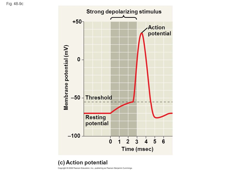 Fig. 48-9c Strong depolarizing stimulus +50 Membrane potential (mV) –50Threshold Resting potential –100 02 3 4 Time (msec) (c) Action potential 1 5 0