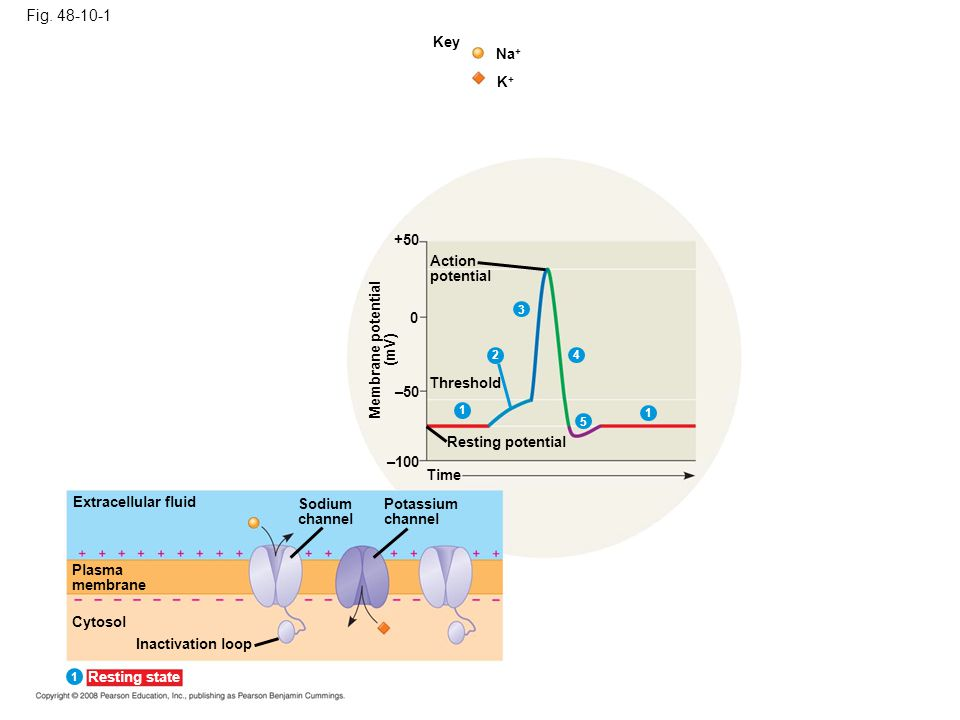 Fig. 48-10-1 Key Na + K+K+ +50 Action potential Threshold 0 1 4 5 1 –50 Resting potential Membrane potential (mV) –100 Time Extracellular fluid Plasma