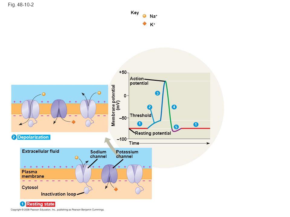 Fig. 48-10-2 Key Na + K+K+ +50 Action potential Threshold 0 1 4 5 1 –50 Resting potential Membrane potential (mV) –100 Time Extracellular fluid Plasma