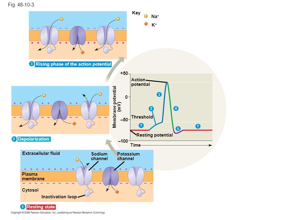 Fig. 48-10-3 Key Na + K+K+ +50 Action potential Threshold 0 1 4 5 1 –50 Resting potential Membrane potential (mV) –100 Time Extracellular fluid Plasma