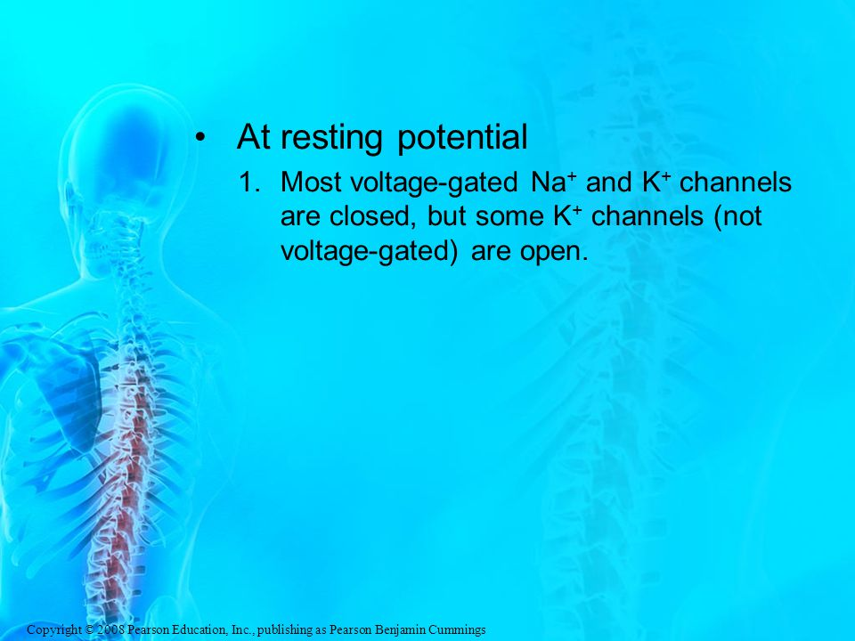 Copyright © 2008 Pearson Education, Inc., publishing as Pearson Benjamin Cummings At resting potential 1.Most voltage-gated Na + and K + channels are closed, but some K + channels (not voltage-gated) are open.