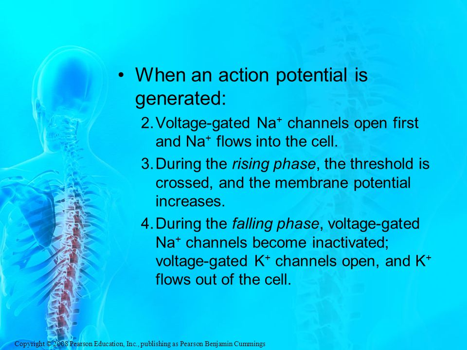 Copyright © 2008 Pearson Education, Inc., publishing as Pearson Benjamin Cummings When an action potential is generated: 2.Voltage-gated Na + channels open first and Na + flows into the cell.