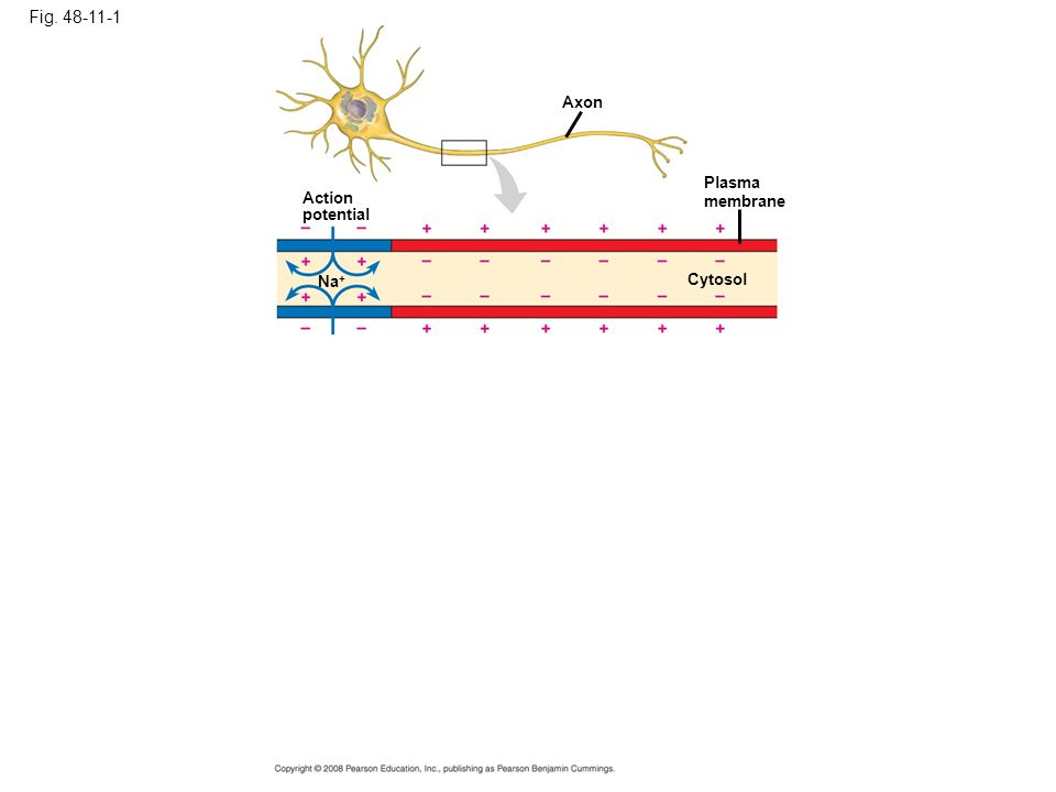Fig. 48-11-1 Axon Plasma membrane Cytosol Action potential Na +