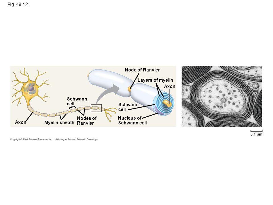 Fig. 48-12 Axon Schwann cell Myelin sheath Nodes of Ranvier Node of Ranvier Schwann cell Nucleus of Schwann cell Layers of myelin Axon 0.1 µm