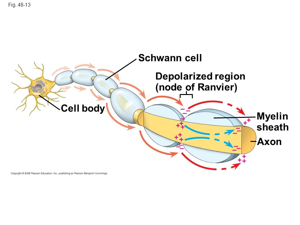 Fig. 48-13 Cell body Schwann cell Depolarized region (node of Ranvier) Myelin sheath Axon