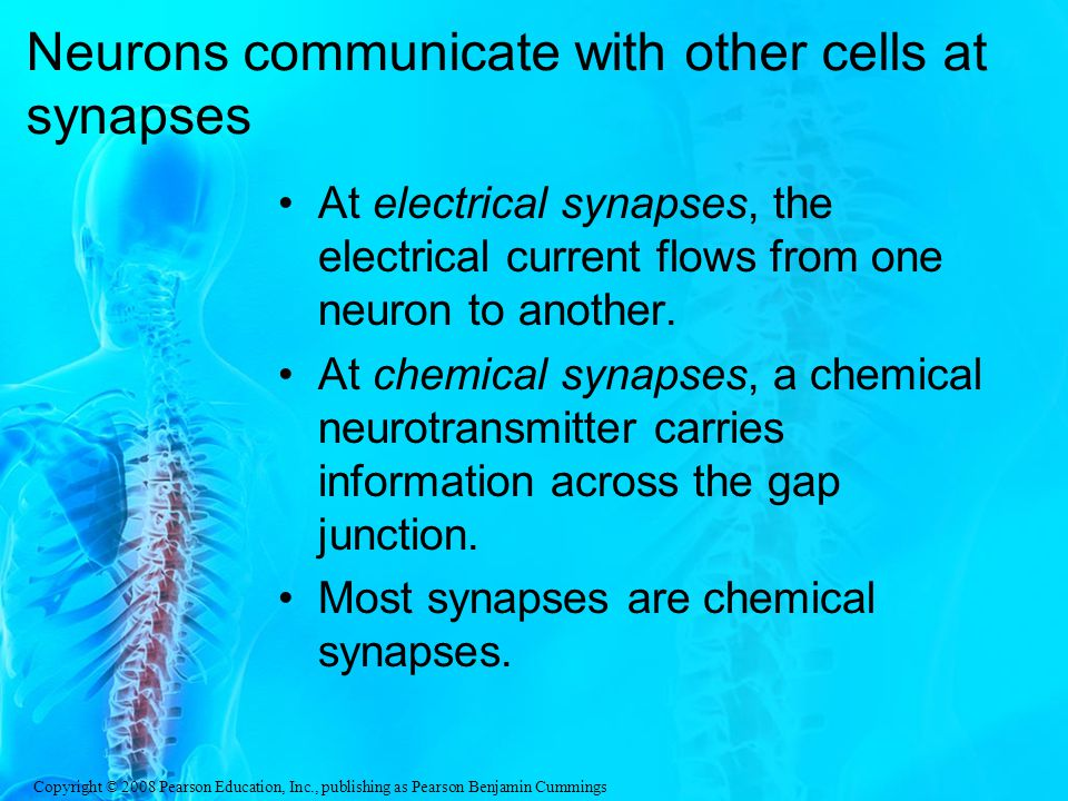 Copyright © 2008 Pearson Education, Inc., publishing as Pearson Benjamin Cummings Neurons communicate with other cells at synapses At electrical synapses, the electrical current flows from one neuron to another.