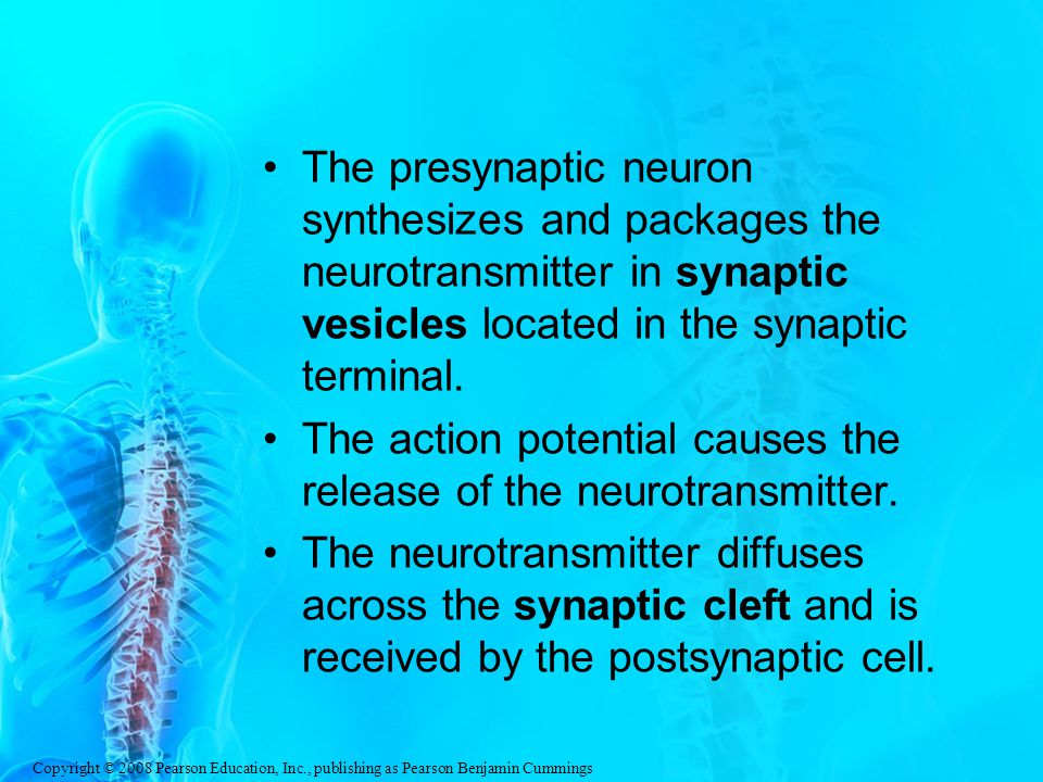 Copyright © 2008 Pearson Education, Inc., publishing as Pearson Benjamin Cummings The presynaptic neuron synthesizes and packages the neurotransmitter in synaptic vesicles located in the synaptic terminal.