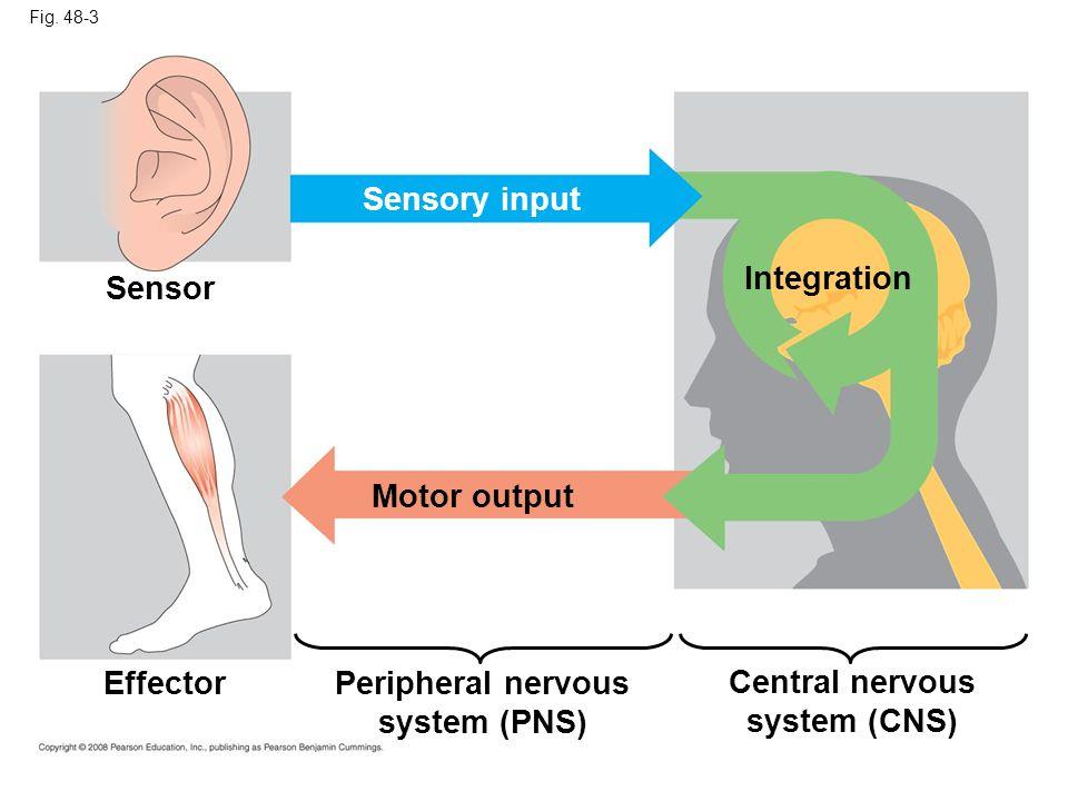 Fig. 48-3 Sensor Sensory input Integration Effector Motor output Peripheral nervous system (PNS) Central nervous system (CNS)