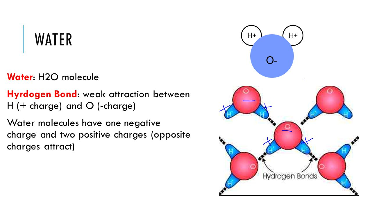 WATER Water: H2O molecule Hyrdogen Bond: weak attraction between H (+ charge) and O (-charge) Water molecules have one negative charge and two positiv