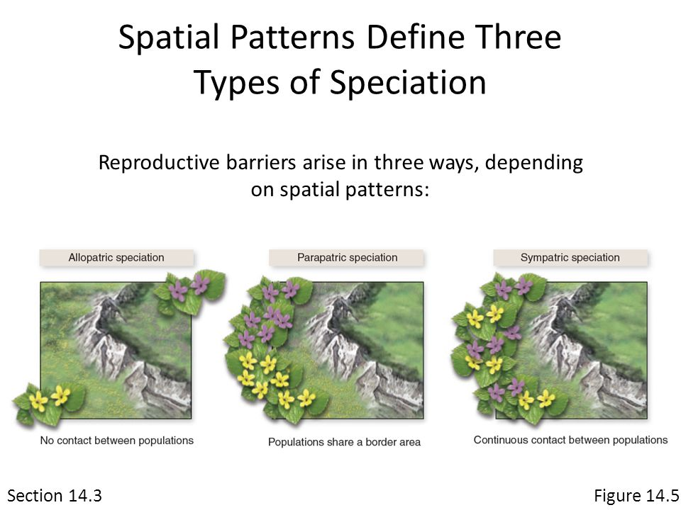 Spatial Patterns Define Three Types of Speciation Section 14.3Figure 14.5 Reproductive barriers arise in three ways, depending on spatial patterns: