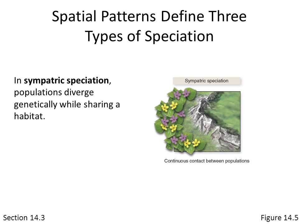 Spatial Patterns Define Three Types of Speciation Section 14.3Figure 14.5 In sympatric speciation, populations diverge genetically while sharing a hab