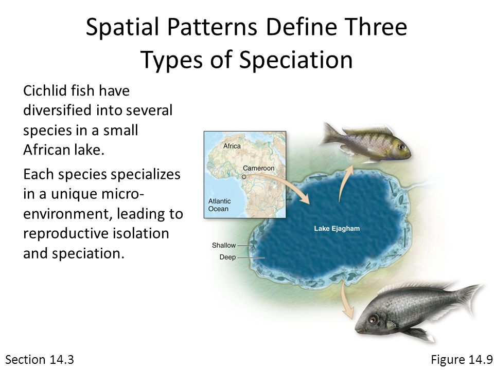 Spatial Patterns Define Three Types of Speciation Section 14.3Figure 14.9 Cichlid fish have diversified into several species in a small African lake.
