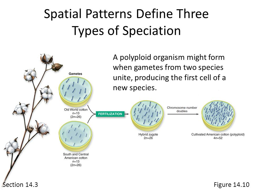 Spatial Patterns Define Three Types of Speciation Section 14.3 A polyploid organism might form when gametes from two species unite, producing the firs