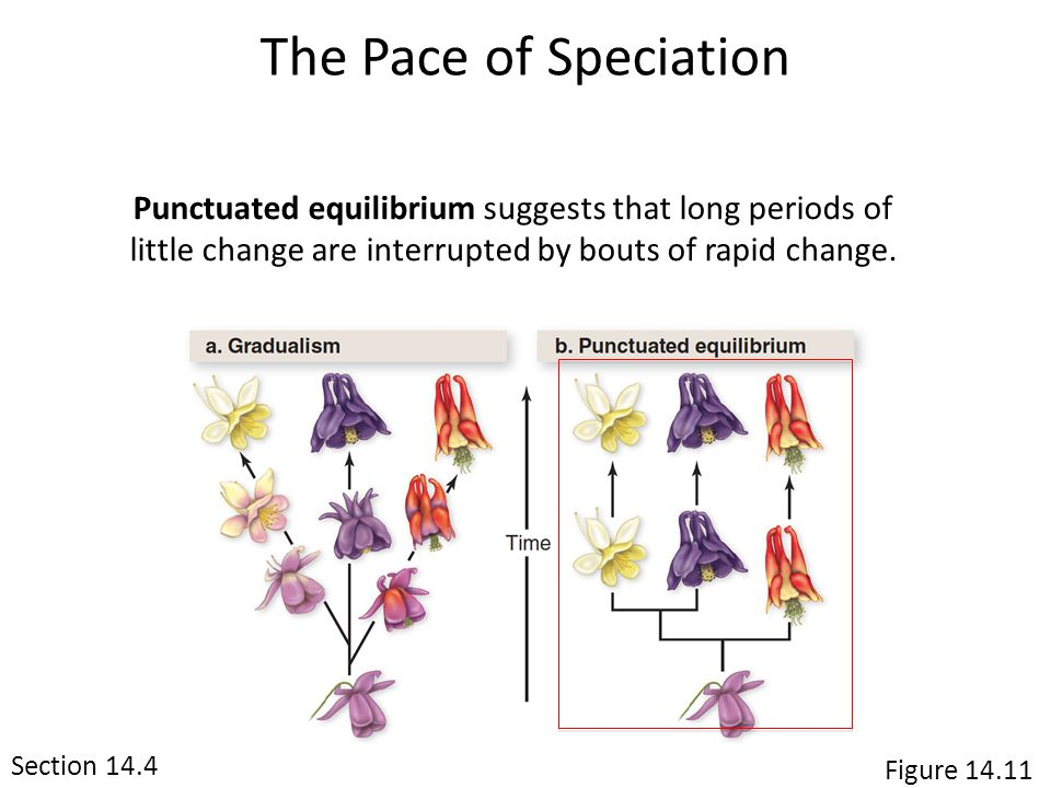 The Pace of Speciation Section 14.4 Punctuated equilibrium suggests that long periods of little change are interrupted by bouts of rapid change. Figur