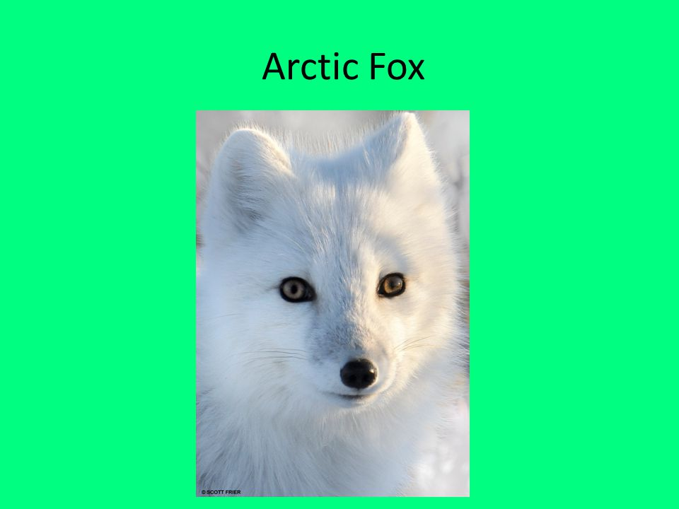 Why I Chose My Animal.I chose the Arctic Fox because they are very soft.