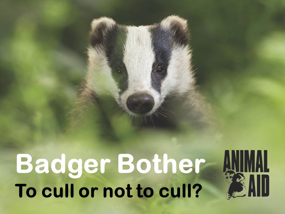 Why cull badgers.