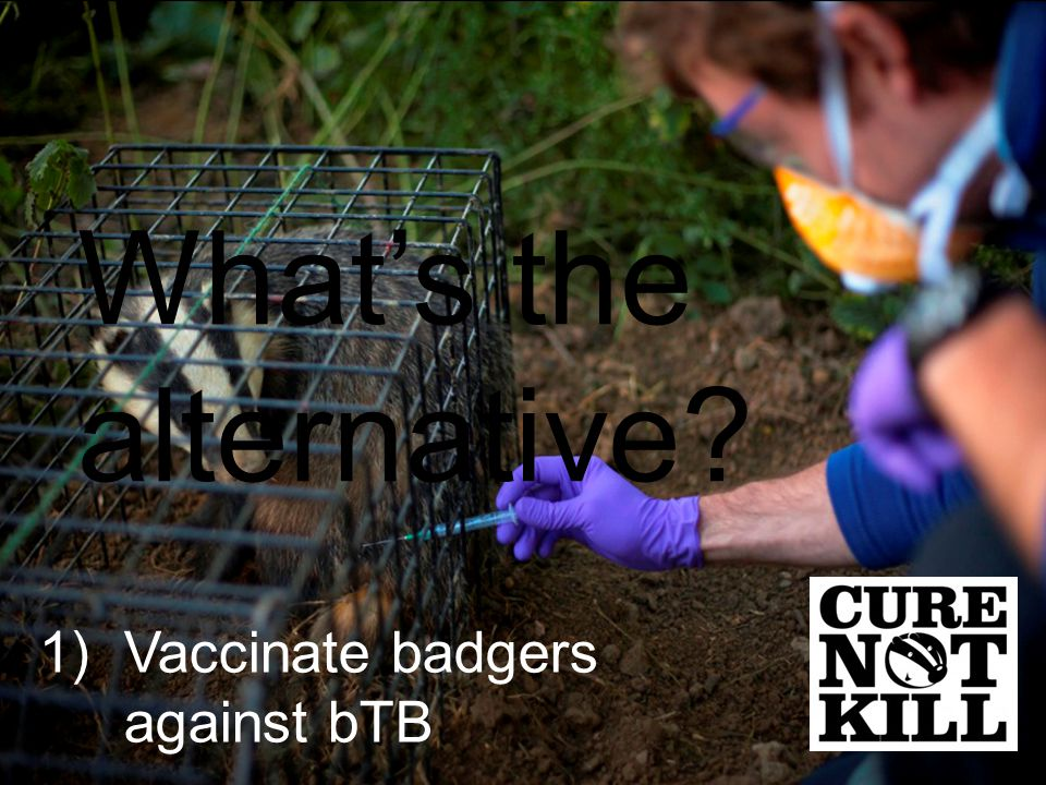 1)Vaccinate badgers against bTB What's the alternative