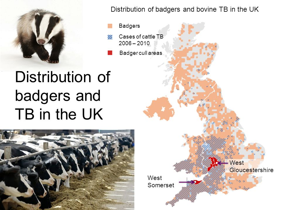 Distribution of badgers and TB in the UK West Somerset West Gloucestershire Badgers Cases of cattle TB 2006 – 2010 Badger cull areas Distribution of badgers and bovine TB in the UK