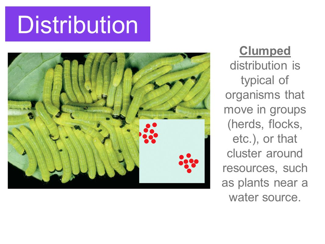 Distribution Clumped distribution is typical of organisms that move in groups (herds, flocks, etc.), or that cluster around resources, such as plants