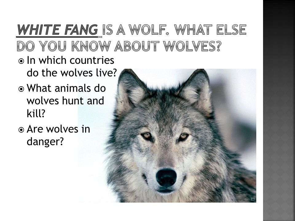  In which countries do the wolves live?  What animals do wolves hunt and kill?  Are wolves in danger?