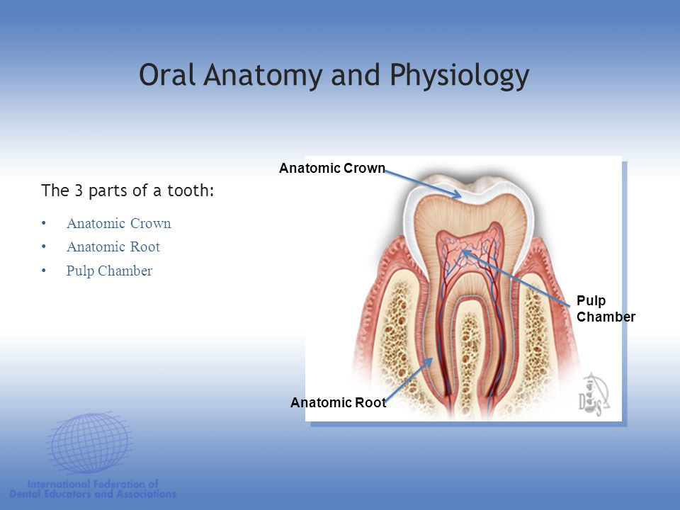 Anatomic Crown Anatomic Root Pulp Chamber The 3 parts of a tooth: Anatomic Crown Anatomic Root Pulp Chamber Oral Anatomy and Physiology