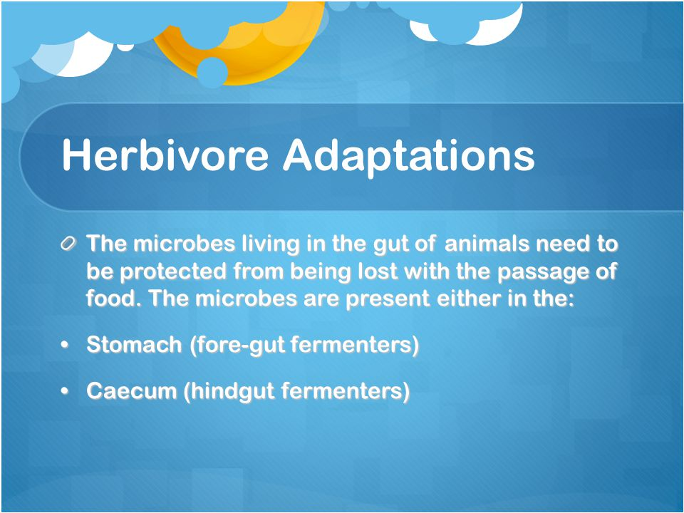 Herbivore Adaptations The microbes living in the gut of animals need to be protected from being lost with the passage of food. The microbes are presen
