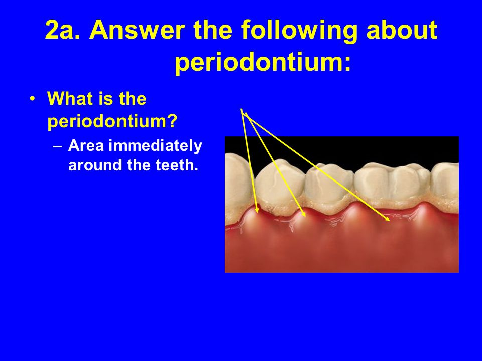 2a. Answer the following about periodontium: What is the periodontium? –Area immediately around the teeth.