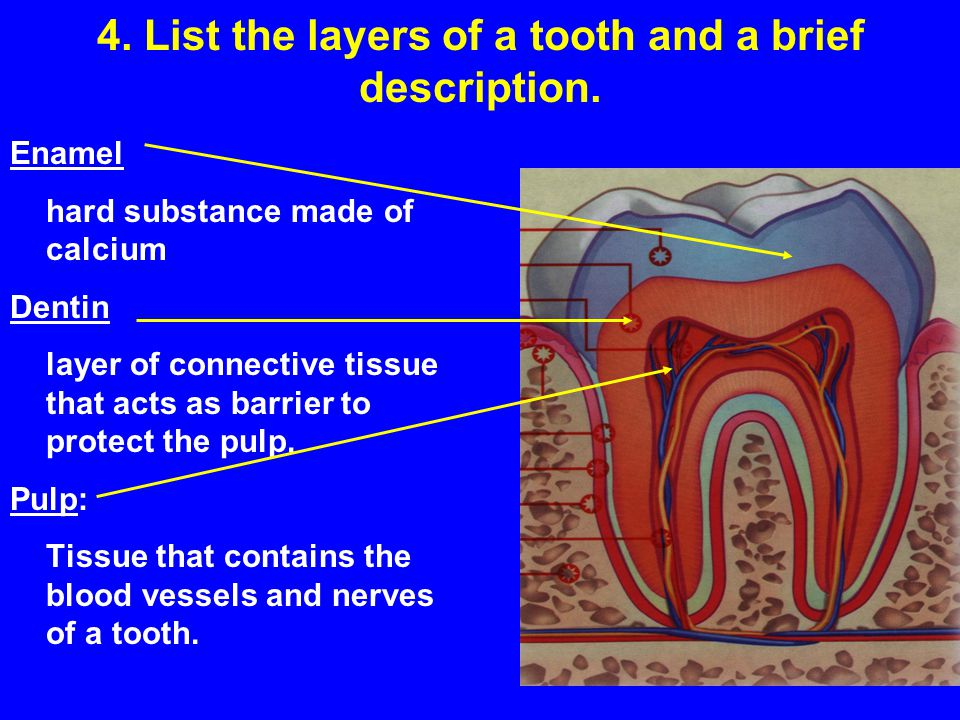4. List the layers of a tooth and a brief description. Enamel hard substance made of calcium Dentin layer of connective tissue that acts as barrier to