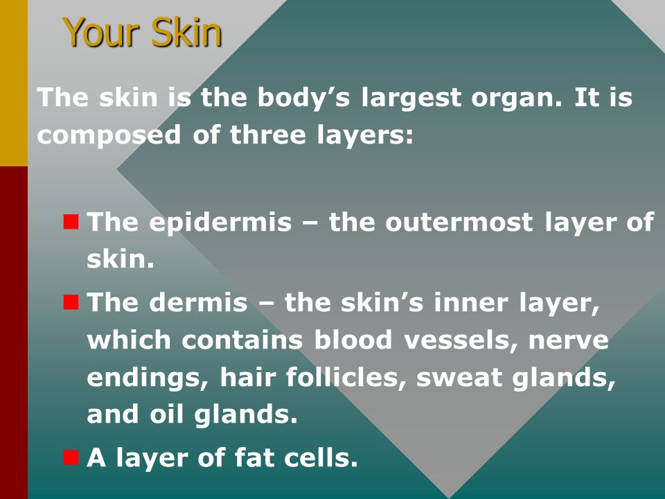Your Skin The skin is the body's largest organ. It is composed of three layers: The epidermis – the outermost layer of skin. The dermis – the skin's i