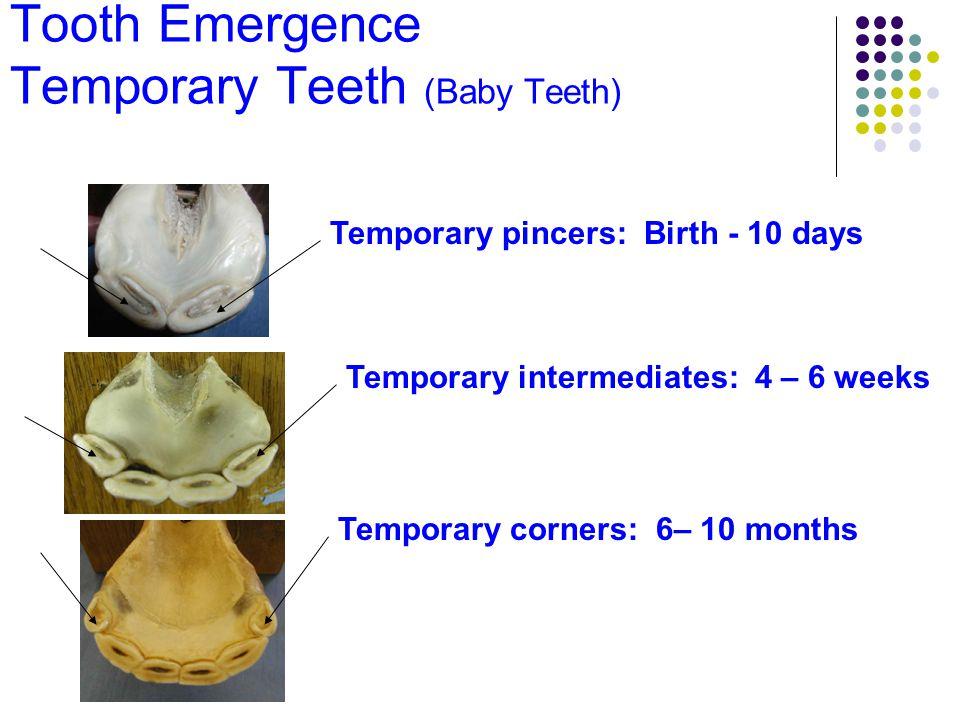 Tooth Emergence Temporary Teeth (Baby Teeth) Temporary pincers: Birth - 10 days Temporary intermediates: 4 – 6 weeks Temporary corners: 6– 10 months