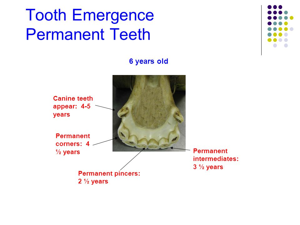 Tooth Emergence Permanent Teeth 6 years old Canine teeth appear: 4-5 years Permanent corners: 4 ½ years Permanent intermediates: 3 ½ years Permanent p