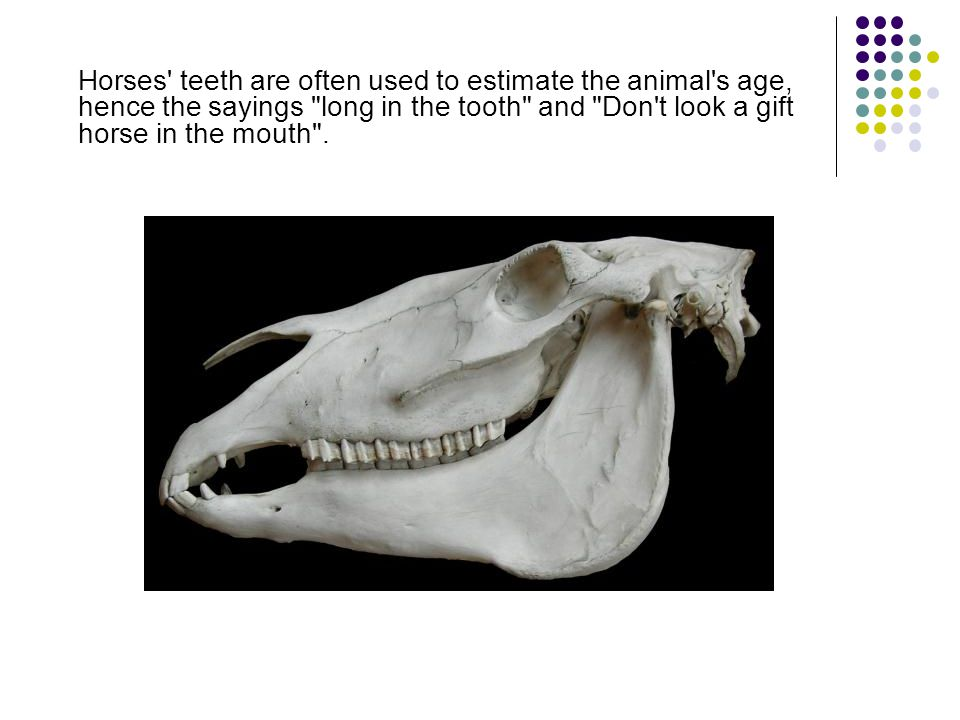 Horses' teeth are often used to estimate the animal's age, hence the sayings