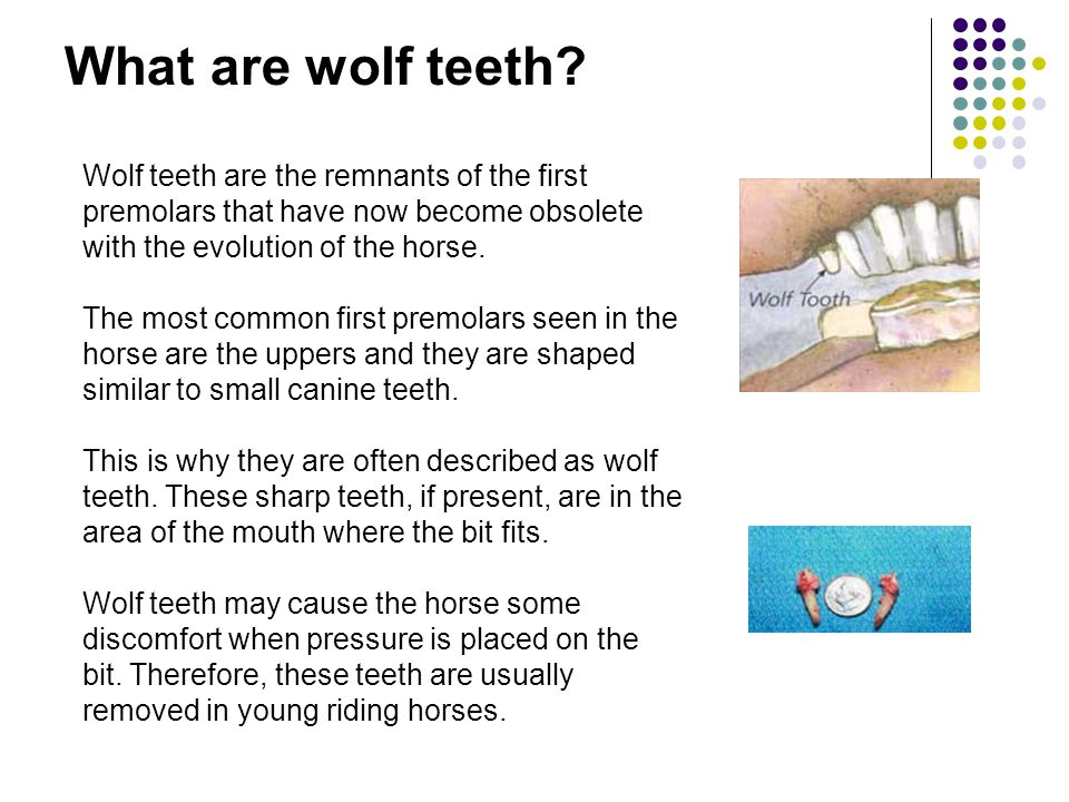 What are wolf teeth? Wolf teeth are the remnants of the first premolars that have now become obsolete with the evolution of the horse. The most common