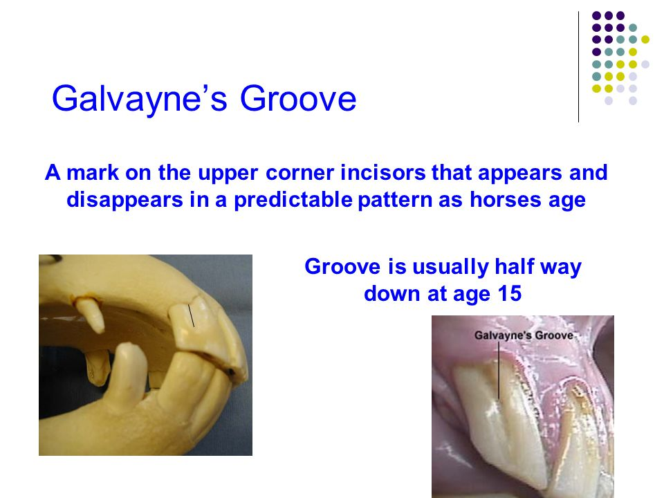 Galvayne's Groove A mark on the upper corner incisors that appears and disappears in a predictable pattern as horses age Groove is usually half way do