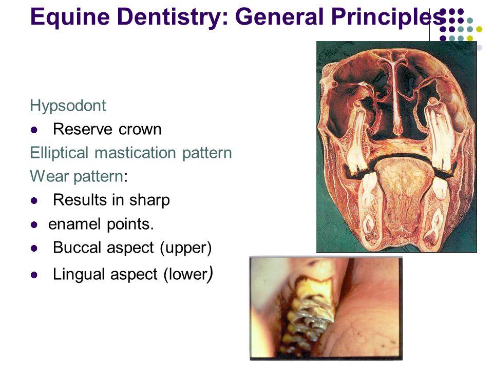 Equine Dentistry: General Principles Hypsodont Reserve crown Elliptical mastication pattern Wear pattern: Results in sharp enamel points. Buccal aspec