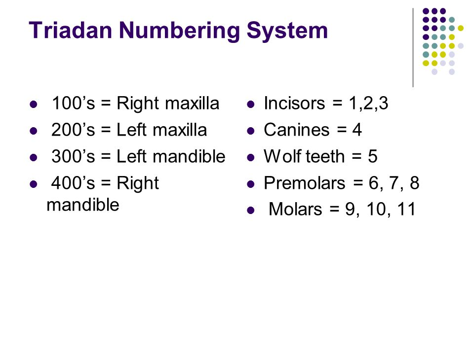 Triadan Numbering System 100's = Right maxilla 200's = Left maxilla 300's = Left mandible 400's = Right mandible Incisors = 1,2,3 Canines = 4 Wolf tee