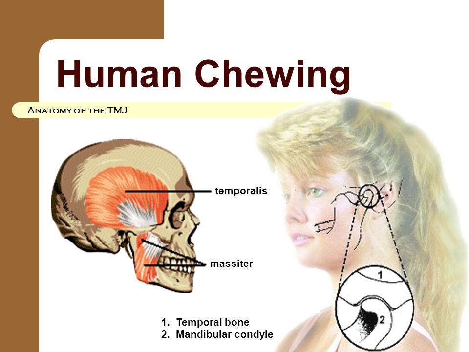 Human Chewing Anatomy of the TMJ temporalis massiter 1. Temporal bone 2. Mandibular condyle
