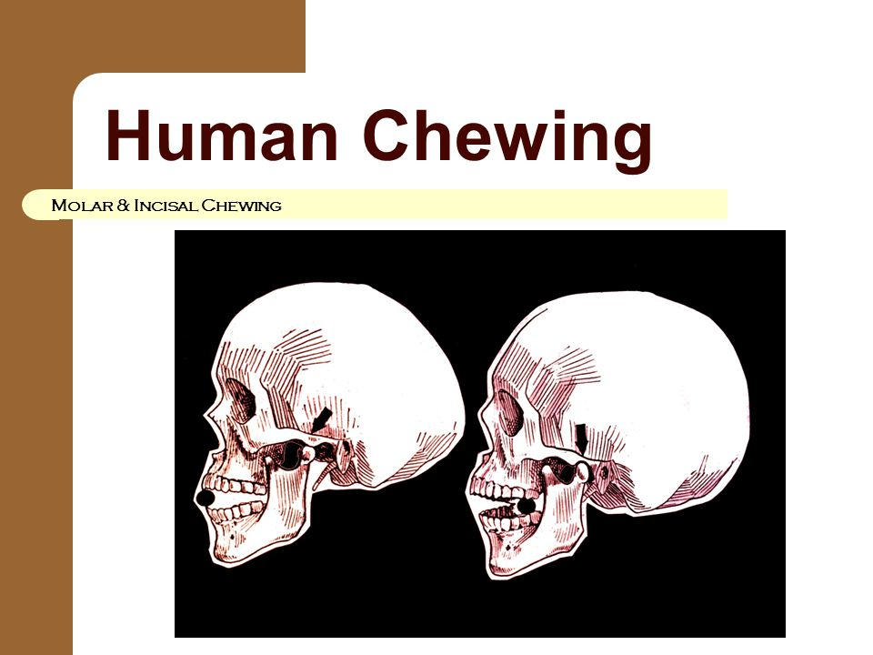 Human Chewing Molar & Incisal Chewing