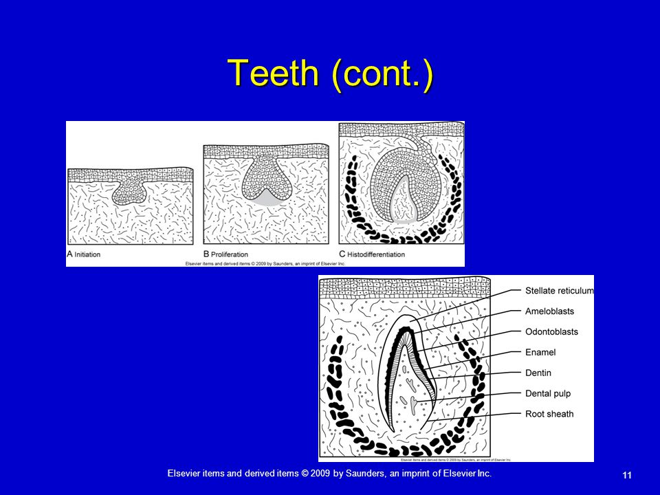 11 Elsevier items and derived items © 2009 by Saunders, an imprint of Elsevier Inc. Teeth (cont.)